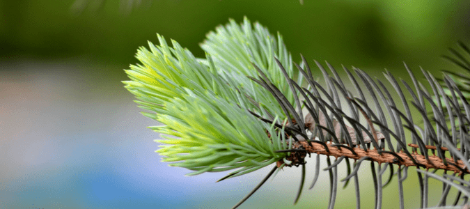 Christmas Tree Aphids.How To Get Rid Of Aphids On Christmas Tree