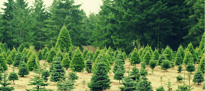 How To Get Rid Of Aphids On Christmas Tree