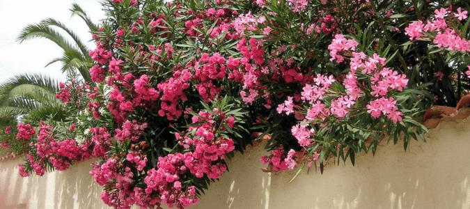 salt tolerant shrubs