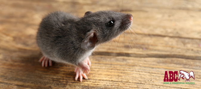Cool Identifying Rat Damage In Your Dfw Home Abc Blog Home Interior And Landscaping Ologienasavecom