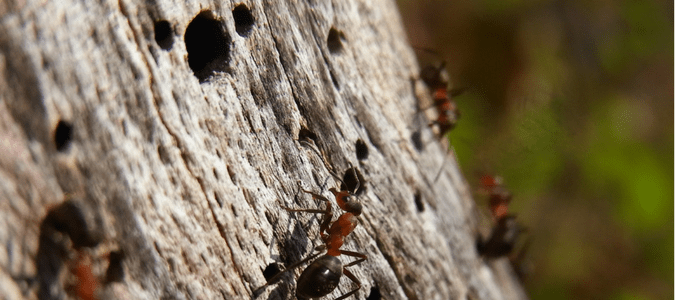 Image result for fire ants rotted wood