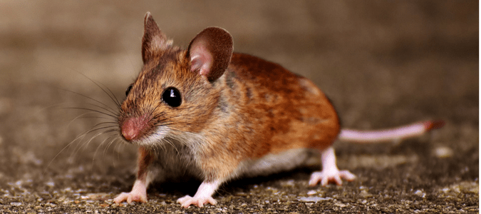 What Do Rats and Mice Look Like