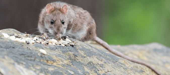 rats and mice facts