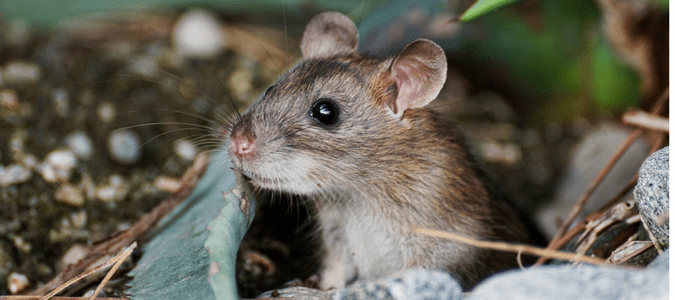 Rats Vs Mice Which Pest Is Invading Your Home Abc Blog