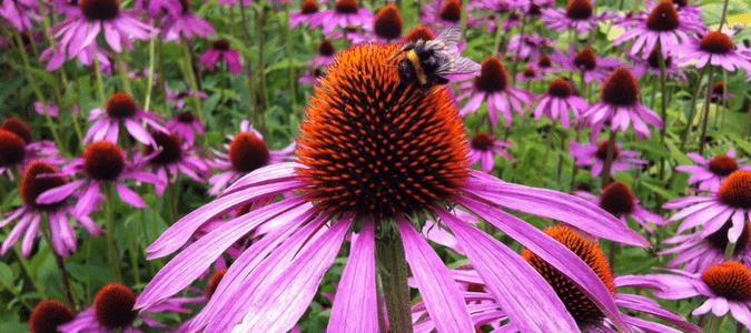 Purple Texas wildflowers