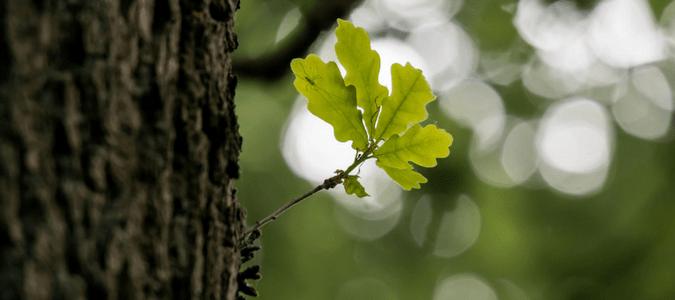 Are oak leaves acidic