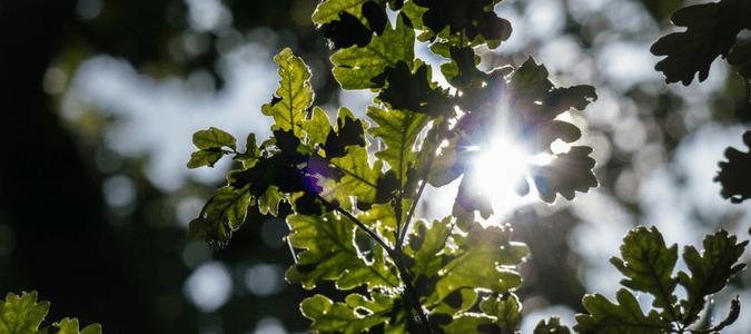 Composting live oak leaves