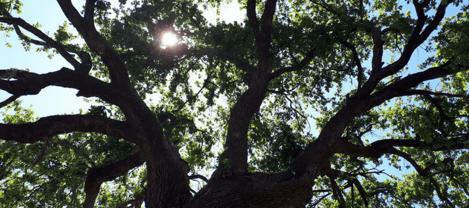 Fastest growing shade trees Texas