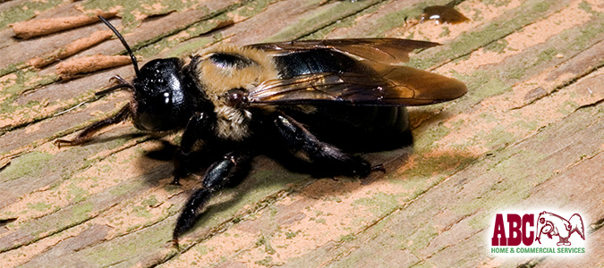 Carpenter bees warning signs and solutions
