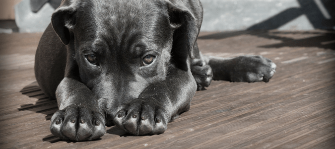 Home remedies for dog fleas