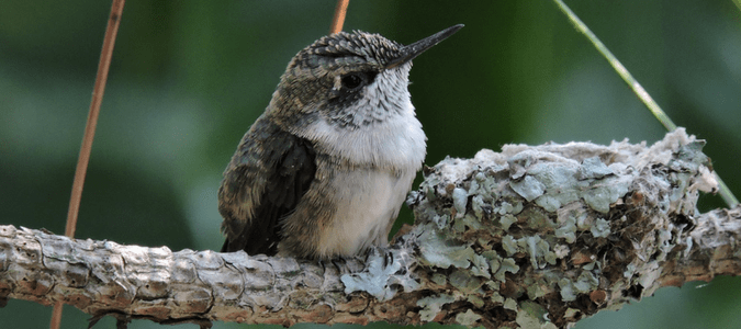 How to attract hummingbirds to nest