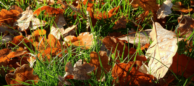 Mulching oak leaves on lawn