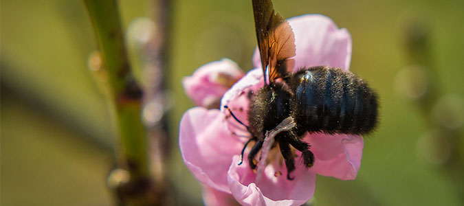Carpenter bee on flower showing dark, shiny abdomen