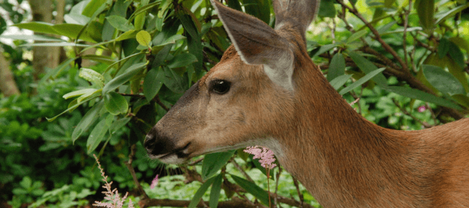 How To Keep Deer Out Of Your Garden For Good Abc Blog
