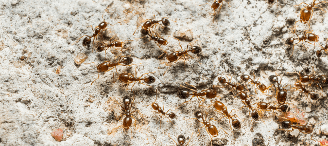 pharaoh ants Florida