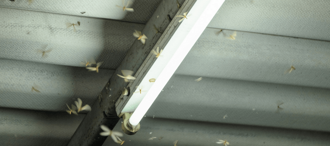 Flying termites swarm