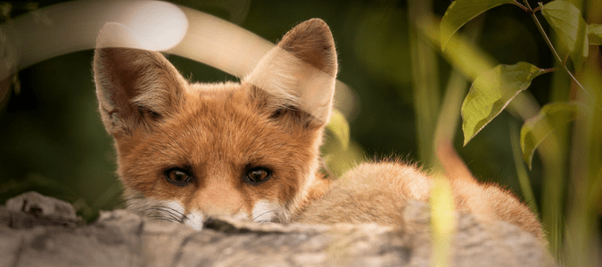 Do foxes eat rats
