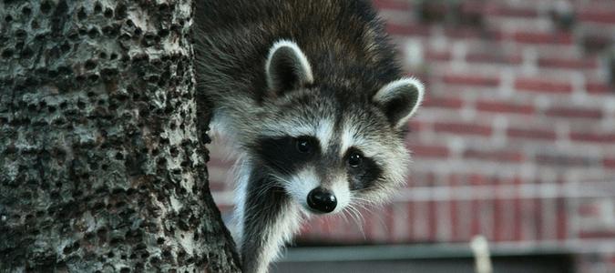 Do raccoons eat rats