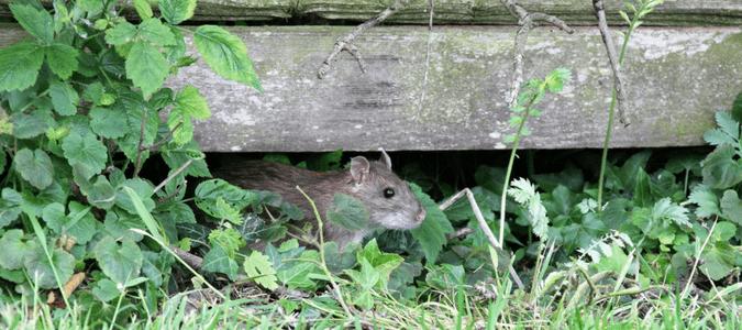 Do rats eat mice