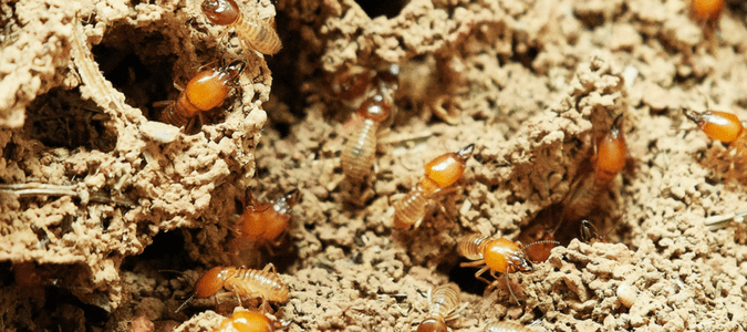 What do termites look like to the human eye