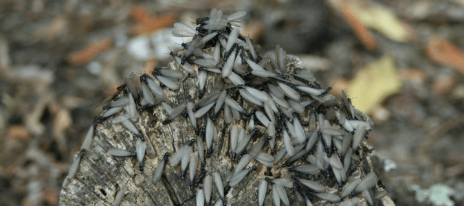 how long do termites swarm