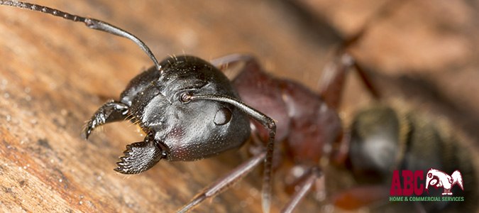 Carpenter Ant Awareness Week — 3 Signs and 4 Prevention Tips