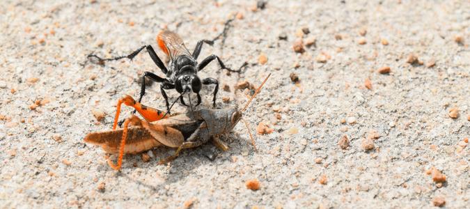 Digger wasp sting