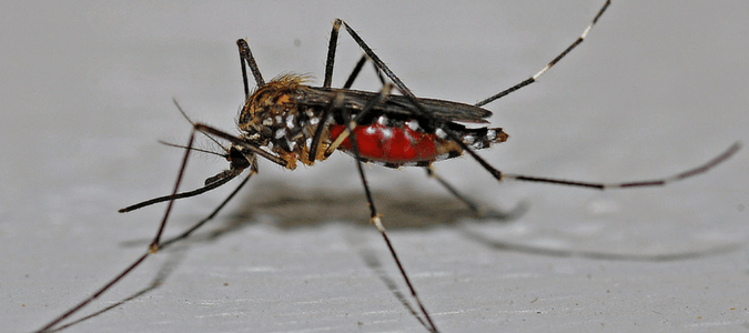 Midge vs mosquito