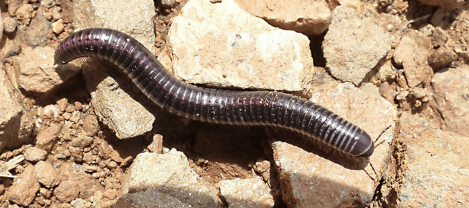 Centipedes In Texas: Dangerous Or Nothing To Worry About