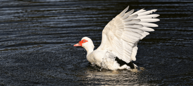 Can muscovy ducks fly
