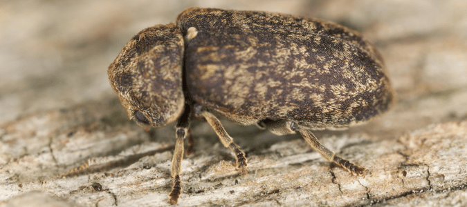 wood boring beetles  the risks they pose to your property