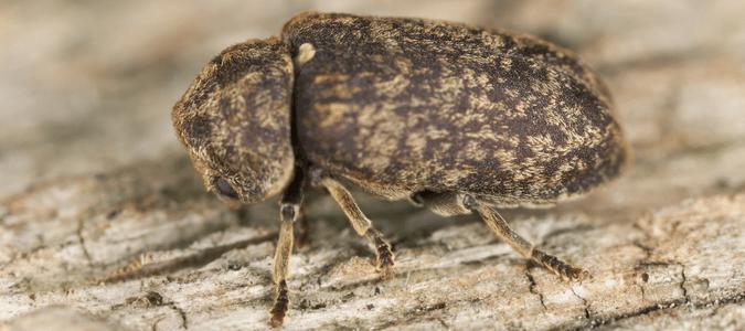 Deathwatch beetle