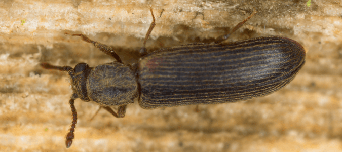 Wood boring beetles identification