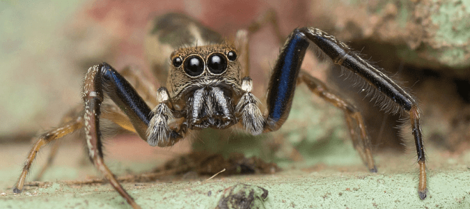 Jumping Spider: Texas Homeowners' Questions Answered | ABC Blog