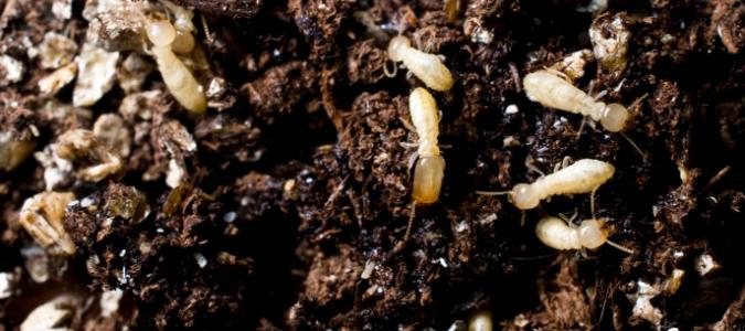 Do termites bite