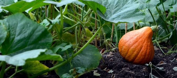 Growing vegetables in pure compost