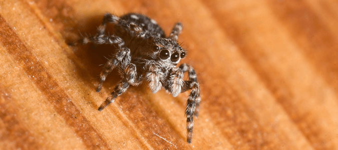 Jumping spider Texas
