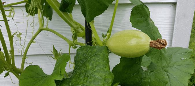 Squash vine borer life cycle