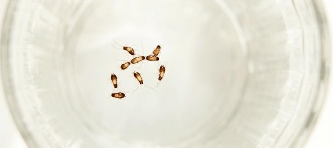 Cockroach eggs size