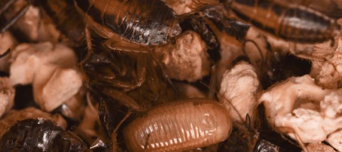 German cockroach eggs