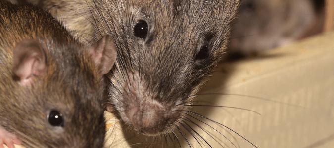 How often do rats reproduce