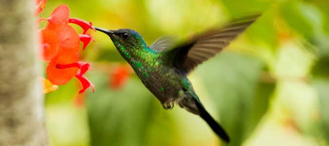 When do hummingbirds come back in Spring
