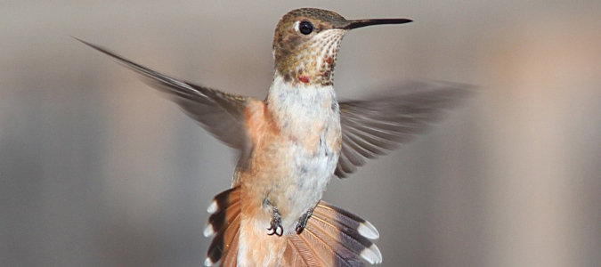 When do hummingbirds leave