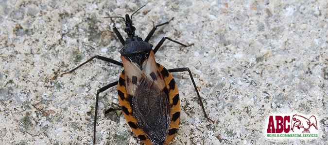 how to identify kissing bugs