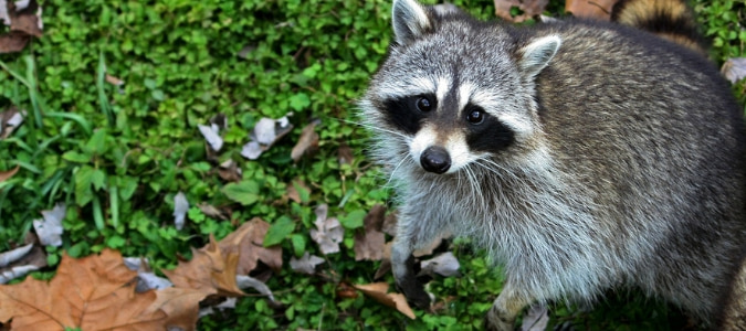 Do raccoons eat cats