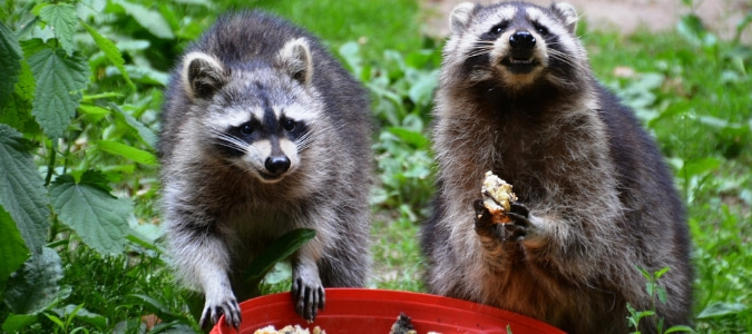 how to keep raccoons out of cat food