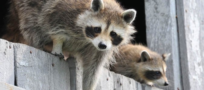 Do Raccoons Eat Cats? Protecting Pets From Wildlife | ABC Blog