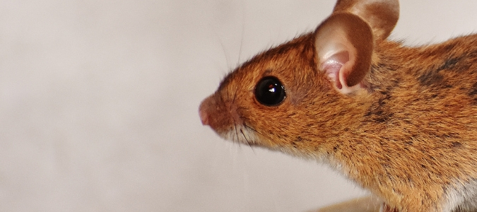 Deer Mouse vs. House Mouse