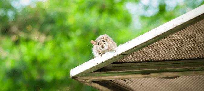Florida rats