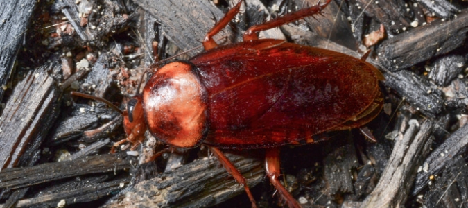 Types of Roaches in Texas